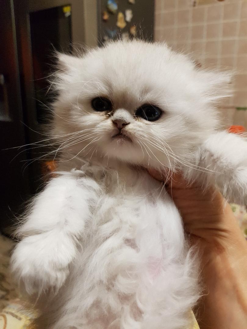 gatta persiana chinchilla' silver