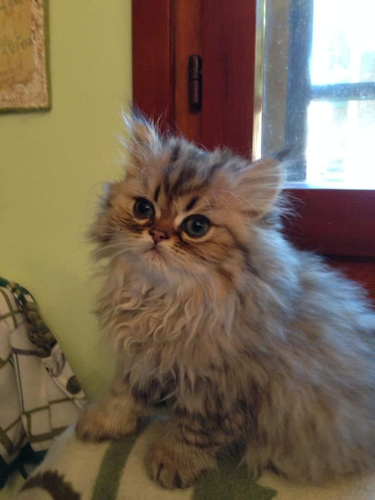 gatto persiano golden